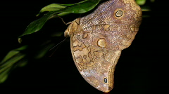 Owl butterfly (Catoblepia soranus.) Stock Footage