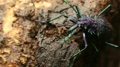 Large longhorn beetle (Cerambycidae) Stock Footage