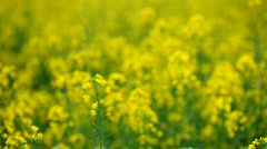 Rapeseed colza yellow Flowers.mov Stock Footage