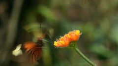 Heliconid butterfly  feeding on a Gurania flower Stock Footage