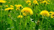 Stock Video Footage of Dandelion flowers