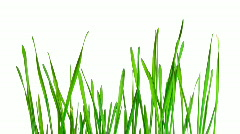 Green grass growing time-lapse - isolated on white background Stock Footage