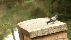 Dove on a column Stock Footage