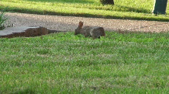 RabbitEating1 Stock Footage