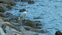 Great Egret Heron Fishing Stock Footage