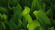 Stock Video Footage of Green Tulip Leaves Light Dance