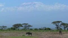Wildebeest walk in front of Mt. Kilimanjaro in Amboceli National Park, Tanzania. Stock Footage