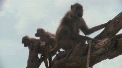 Baboons and babies sit in a tree in Africa. Stock Footage