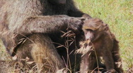 A mother baboon picks fleas and ticks off of her baby during this grooming Stock Footage