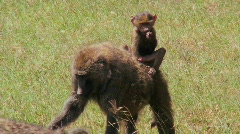 A baby baboon rides on her mothers back. Stock Footage