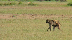 A mother baboon carries her baby across the savannah in Africa. Stock Footage