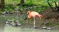 Pink flamingo (Phoenicopteridae) Footage