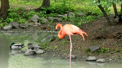 Pink flamingo (Phoenicopteridae) Stock Footage