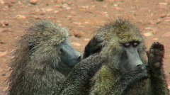 Baboons pick fleas off each other in a grooming ritual in Africa. Stock Footage