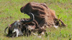 The carcass of a cow lying in a field. Stock Footage