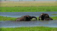 Juvenile elephants play and tussle in a watering hole in Africa. Stock Footage