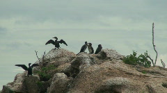 Malawi: cormorants on a rock 4 Stock Footage