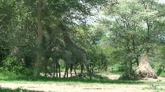Malawi: giraffe in a wild 16 Stock Footage