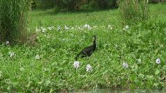 Malawi: bird on river shore Stock Footage