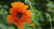 Stock Video Footage of Orange Poppy