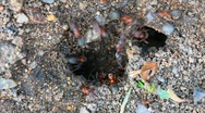 Ants nest. Macro. Stock Footage