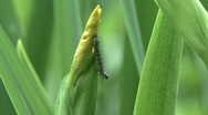 Butterfly caterpillar Stock Footage