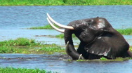 Elephants wrestle and fight in a swamp. Stock Footage