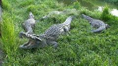 Malawi: crocodile farm 3 Stock Footage