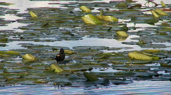 Red-winged Blackbird Stock Footage