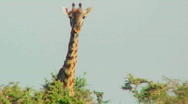 Stock Video Footage of A giraffe peers over the treetops.