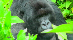 Stock Video Footage of A gorilla sits in the greenery of the Rwanda rainforest.