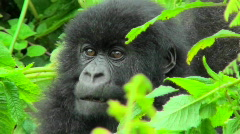 Stock Video Footage of A mountain gorilla baby sits in the greenery of the Rwandan rainforest.