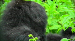 Stock Video Footage of A Rwandan mountain gorilla amongst the green foliage of the jungle.