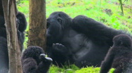 Stock Video Footage of An adult silverback gorilla eats eucalyptus sap from a tree while babies play