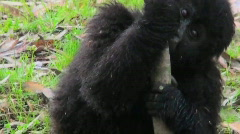 Stock Video Footage of A baby gorilla eats a eucalyptus tree.