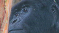 Stock Video Footage of Close on an adult female gorilla looking around.