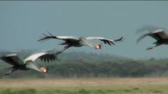 Beautiful slow motion shot of African crested cranes in flight. - stock footage