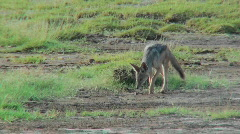 A jackal forages for food on the African plains. Stock Footage