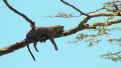 An Africa leopard lounges in a tree. Stock Footage