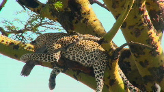 An African leopard looks agitated while resting in a tree. - stock footage