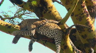 Stock Video Footage of An African leopard looks agitated while resting in a tree.
