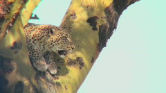 A leopard looks down from a tree. Stock Footage