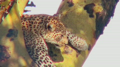 A leopard lounges in a tree. Stock Footage