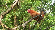 Stock Video Footage of Rooster crowing on the tree