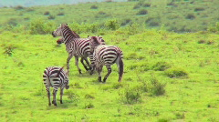 Zebras play in a field in Africa. Stock Footage