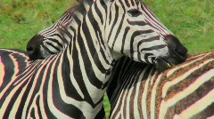 A zebra licks and bites the rump of another zebra. Stock Footage