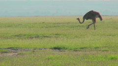 An ostrich walks on the plains of Africa. - stock footage