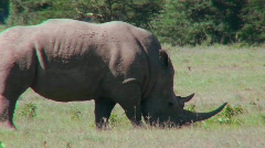 A rhino grazes on the plains of Africa. Stock Footage
