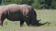 Stock Video Footage of A rhino grazes on the plains of Africa.