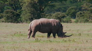 Stock Video Footage of A rare rhino grazes on the plains of Africa.